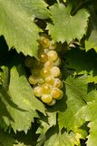 Tasty green Welschriesling grapes close-up Stock Photography