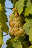 Tasty green Welschriesling grapes close-up Royalty Free Stock Image