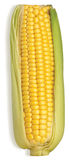 Tasty healthy sweetcorn cob with its leaves  Stock Images