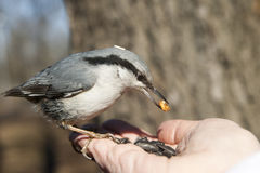 Nuthatch sitting on a human hand and eating. royalty free stock image