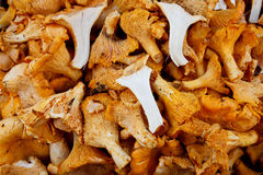 Tasty organic chanterelle mushroom Royalty Free Stock Image
