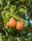 Tasty pears at a branch Royalty Free Stock Photos