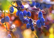 Tasty plums hanging on the branch. Royalty Free Stock Photography