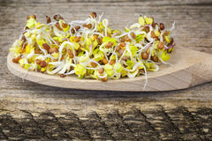 Tasty radish sprouts. In wooden spoon Royalty Free Stock Photos
