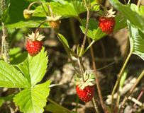 Tasty raspberries grows closeup Royalty Free Stock Photos