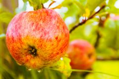 Tasty red apple on the tree, ending summer, apple for making fresh apple juice, village life, healthy fruit. Stock Photos