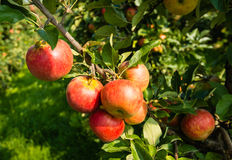 Tasty red apples from close Royalty Free Stock Image