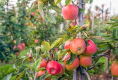 Free Tasty Red Apples Ready For Harvesting Stock Photo - 100054800