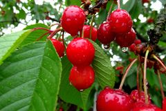 Tasty red cherries covered with a fresh rain drops. With some green leaves in the background stock image