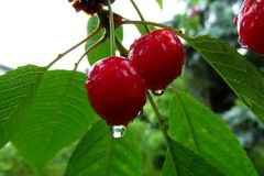 Tasty red cherries covered with a fresh rain drops. 2. Tasty red cherries covered with a fresh rain drops. With some green leaves in the background royalty free stock images
