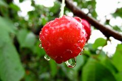 Single tasty red cherry covered with a fresh rain drops. Tasty red cherry covered with a fresh rain drops. With some green leaves in the background Stock Image