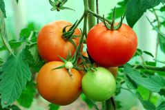 Tasty red tomatoes on the bushes Royalty Free Stock Photo
