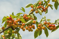 Tasty ripe cherries on a tree branch. Stock Images