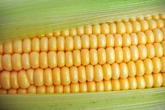 Tasty ripe corn Royalty Free Stock Images