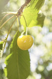 Tasty ripe yellow cherry on a tree branch, healthy fruit Stock Photo