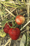 Tasty strawberry in garden. Royalty Free Stock Photography