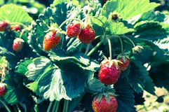 Tasty strawberry. In the sunny summer garden Stock Photo