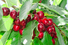 Tasty sweet cherry berry in lush leafage. Tasty sweet cherry berry harvest in lush leafage on orchard tree branch Royalty Free Stock Image