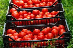 Tasty Tomatoes In Boxes Stock Images