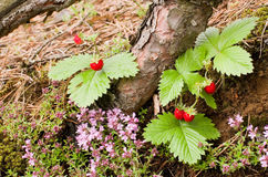 Tasty wild strawberries Royalty Free Stock Photography
