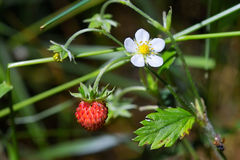 Tasty wild strawberries Stock Photo