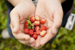 Tasty wild strawberry in hands Royalty Free Stock Photo