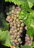 Tasty wine grapes. Cluster of tasty wine grapes Royalty Free Stock Images