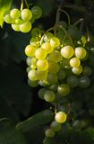 Tasty wine grapes in sunlight. Tasty light wine grapes in sunlight Stock Photography