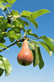 Tasty young pear. Royalty Free Stock Photography
