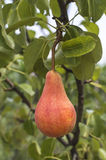 Tasty young pear hanging on tree. Royalty Free Stock Image