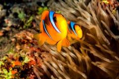 Tata Clownfish i Mama Zdjęcie Stock