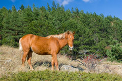 Tatar chestnut horse near bush of wild dog-rose at autumnal season Stock Photos