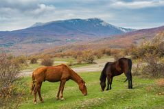 Tatar horses grazing in autumnal mountains in Crimean peninsula Stock Image