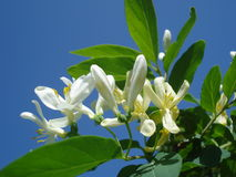 Tatarian honeysuckle white flowers Royalty Free Stock Photo