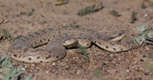 Tataricus d'Eryx de boa de sable de Tartary photo stock