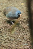 Tataupa tinamou. In the ground Royalty Free Stock Image