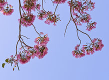 Tatebuia blossom with blue sky Royalty Free Stock Image