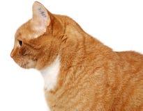 Tatoo do gato Imagem de Stock