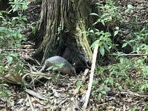 Tatou dans le Forrest photos stock