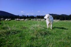 Tatra护羊狗 免版税库存照片