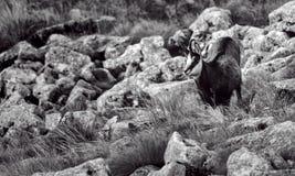 Tatra羚羊 库存图片
