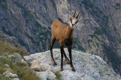 Tatra羚羊& x28;Rupicapra rupicapra tatrica & x29; 图库摄影