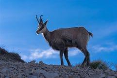 Tatra羚羊Rupicapra rupicapra tatrica 库存照片