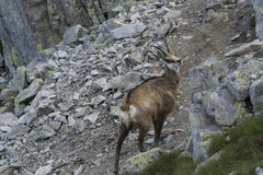 Tatra chamois in the natural environment Royalty Free Stock Photography