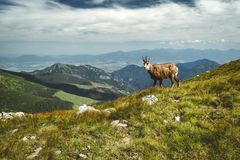 Free Tatra Chamois On The Hill Stock Photography - 122090512