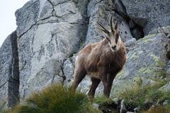 Tatra Chamois  Rupicapra rupicapra tatrica Royalty Free Stock Photography