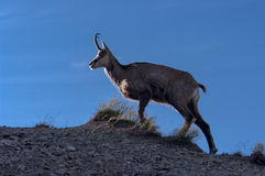 Tatra Chamois  Rupicapra rupicapra tatrica Royalty Free Stock Photo