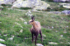 Tatra Chamois  Rupicapra rupicapra tatrica Stock Photography