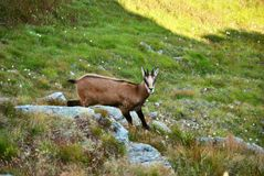 Tatra chamois (rupicapra rupicapra tatrica) in mountains with blue sky background. High Tatras, Slovakia, Eastern Europe. Stock Image