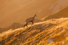 Tatra chamois at sunrise Royalty Free Stock Images